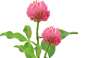 callout design element - state flower the red clover